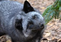 Noah's Ark Foxes & Wolves - Tito the silver fox came to Noah's Ark in 2013 after his owner no longer had time for him.