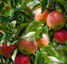 Buy Apple domestica Cox's Orange Pippin online from Jacksons Nurseries