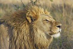 Lion, Iso Kissa, Petoeläin, Safari