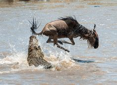 On a hair from death. \ Crossing through the river Mara.The antelope Blue wildebeest ( connochaetes taurinus ), has undergone to… Blue Wildebeest, Serengeti National Park, Safari Adventure, Day Trips, Animals Beautiful, National Parks, Wildlife, Horses, Stock Photos
