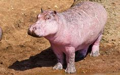 The pink hippo is leucitic and not albino as it had some pigmented spots and dark eyes. Leucistic animals often do not survive in the wild as they are visible to predators and get sunburnt. Hippos however are large enough to fend off rare attackers, while using their sweat as sunscreen.