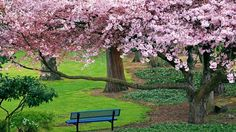 Chill Out Cherry Blossom