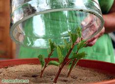 Оптимальное время для черенкования Vegetative Reproduction, Bougainvillea, Landscape Design, Plants, Gardening, Garden, Sodas, Landscape Designs, Lawn And Garden