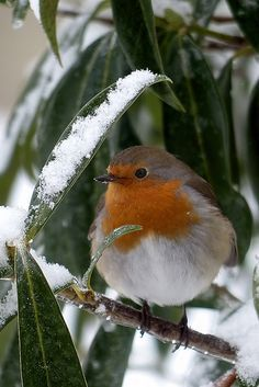 Little Robin-Redbreast shelter from the Winter Snow