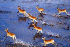 #photographer : Frans Lanting - Red lechwe running (aerial), Kobus leche leche, Okavango Delta, Botswana