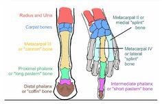 Comparación entre la extremidad superior humana y anterior del caballo