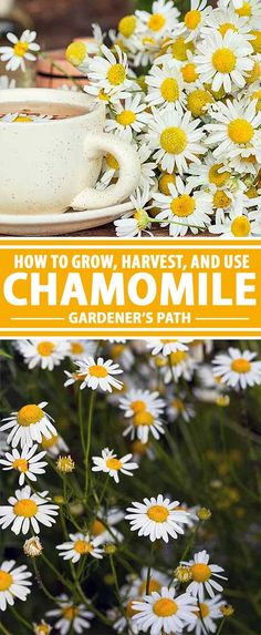 Of all the plants in my garden, chamomile offers the most return on my investment. It is a vigorous and problem-free plant that produces a spray of beautiful flowers that can immediately be harvested to make a tasty tea. Gardener's Path has all of the information you need to know about growing this fine addition in your own garden. Read on to learn more!