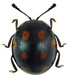 Endomychidae Australische Region