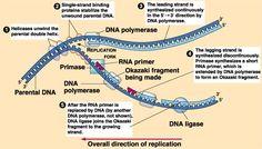dna replication components b dna replicator meme spreader  essay on dna essay service