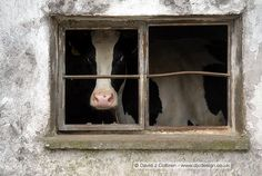cow in a house.