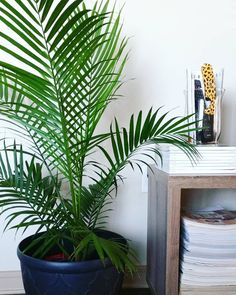 LIVING // My newest project; favorite corner got an upgrade yesterday! I moved my birds of paradise plant into my bedroom. I had been wanting a plant in there so I got a new one for the living room. I absolutely love how these look! #palm #chamaedoraelegans Style tip: Use clear vases to hold items you aren't quite sure where to place. I bought the leopard print lighter at Walmart as well as the vase and put smaller magazines in it from @potterybarn and the remote for my tv on a stack of…
