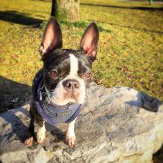 So happy . ....the sind is shining. #dottiethebostie #dogsofinstagram #munichdogs #doglover #instadog #bostonterrier