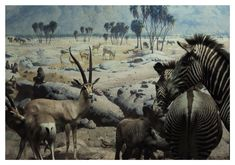 African mammals. Taxidermia and Landscape photography at the Natural History Museum, New York City.
