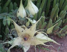 The giant, hairy starfish flowers of Stapelia gigantea are irresistible to flies, their natural polinators.