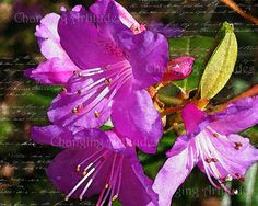 Art PINK LILLY  WATERCOLOR  Home and Living by ChangingArtitudes