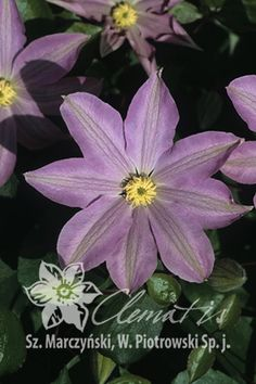Clematis  'Ania'
