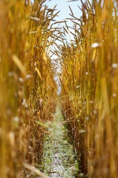 Spelt.  www.landgoud.nl Fields Of Gold, Chocolate Trifle, Agriculture Farming, Atlantis, Canning, Gardening, Bread, Autumn, Times