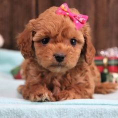 Find the perfect puppy for your family. From breed selection to training to long-term healthcare, PuppySpot will be your first and last puppy stop. Havapoo Puppies, Puppy Facts, Puppy Finder, Puppy Mills, Love At First Sight, First They Came, Puppies For Sale, Gender Female, Teddy Bear