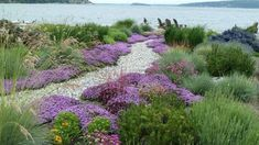 A jaw-dropping casual path winding across a superb mix of drought resistant and salt friendly plantings. This naturalistic, colorful and low maintenance scene has been brilliantly created by Lankford Associates Landscape Architects, using 3 drought r