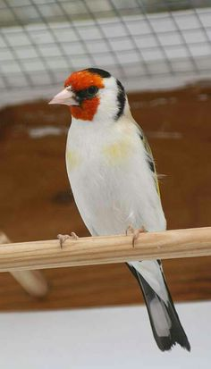 Pretty Birds, Beautiful Birds, Canary Birds, Goat Farming, Finches, Goldfinch, Collection, Landscape Photos, Birds