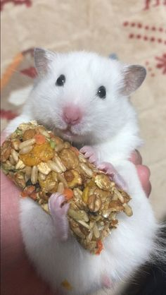 Syrian Hamster doing what it is best at: eating and looking cute :)