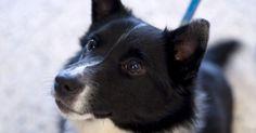 Cómo cuidar cachorros Collie. Los cachorros Collie son conocidos por sus instintos de pastoreo. Estos perros de tamaño mediano vienen en varios colores como negro, tri color, o blanco y negro. Hay dos tipos diferentes de cachorros Collie, los de pelaje áspero y los de pelaje suave. Los Collie tienen la habilidad de sobrevivir a cualquier tipo de clima debido a su pelaje ...