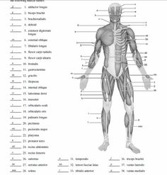 muscular system diagram worksheet electric relay wiring human anatomy labeling worksheets muscle label blank to