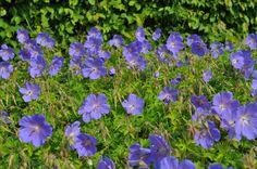 GERANIUM himalayense 'Baby Blue' - Storkenæb, farve: violet, lysforhold: sol/halvskygge, højde: 40 cm, blomstring: juni - juli, god til bunddække.