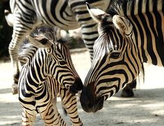 ZEBRA Mom and Foal (Equus burchellii) Why do zebras have stripes at all? Scientists aren't sure, but many theories center on their utility as some form of camouflage. The patterns may make it difficult for predators to identify a single animal from a...