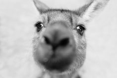 Kangaroo Close-Up by Cameron Zegers on 500px