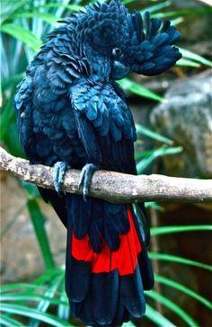 Red Tailed Black Cockatoo   ♥ Australia  ♥ Australia