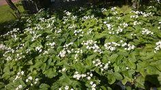 #kesä #luonto #piha #Puruvesi  #Punkaharju #Suomi #houseforsale #Finland #summer #garden