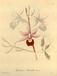 1858 v. 1 - Xenia orchidacea - Biodiversity Heritage Library