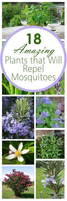 18 Amazing Plants that Will Repel Mosquitos | Bees and Roses
