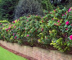 Rosa rugosa also makes a lovely hedge. It is not evergreen though some are semi evergreen. Available in pink or white flowering varieties.