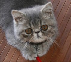 breeds of cats | 2008 Cat Breeds Picture Gallery - Featuring Exotic Shorthair Gizmo