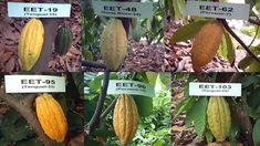 Material de siembra de cacao