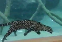 🐆Jaguars are excellent swimmers! They love water and prefer to settle near water. They enjoy spending their time in cool water. Fish or open the shells of river turtles. Funny Animal Videos, Funny Animal Pictures, Cute Funny Animals, Pet Videos, Animals Of The World, Animals And Pets, Baby Animals, Cute Cats And Kittens, Big Cats