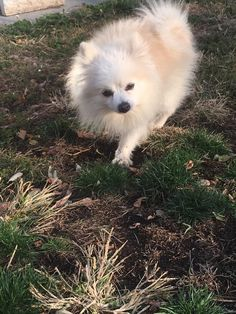West Haven Animal Shelter added 3 new photos. November 2 ·  **REUNITED WITH OWNER** ***FOUND DOG***  Found roaming on Washington Ave near Main St, small male Pomeranian, blue collar no tags or chip. If you know who this little guy belongs to, please contact the shelter at 203-937-3642