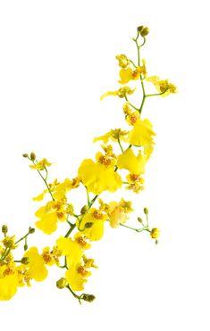 Wedding Flowers | Orchid, Oncidium