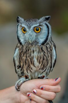 Northern White Faced  Scops Owl -  by Leon Herbert on 500px