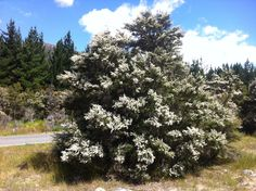 Kanuka tree, Nelson Lakes, New Zealand 2014