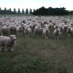 Militant sheep protest video goes viral