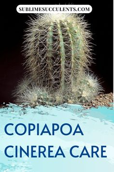 Read through this Copiapoa Cinerea care guide by Sublime Succulents if you want your plant to grow healthy and strong. Most succulent species are very easy to care for, and they will even thrive on a bit of neglect. Their low maintenance requirements make them even more popular. If you want to learn how to nurture your succulents the right way, read this article now. #succulentcare #succulenttips #succulentcareguide #copiapoacinereacare #caringforsuccuelnts #howtolookaftersuccuelnts Succulent Planter Diy, Succulent Care, Cacti And Succulents, Cactus Plants, Succulent Species, Cactus Care, Amazing Gardens, Are You The One, Garden Ideas