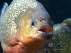 Google Image Result for http://www.sciencejay.com/wp-content/uploads/2011/10/Finally-Piranha-Sound-Puzzle-Solved.jpg