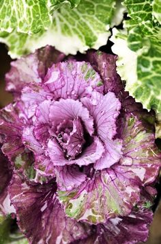 flowering cabbage So pretty in fall gardens. Purple Lilac, Shades Of Purple, Green And Purple, Flowering Kale, Cabbage Roses, Purple Cabbage, Ornamental Cabbage, All Things Purple, Purple Stuff