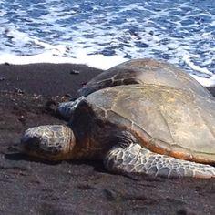 Sea turtles in Kona, HI  #SavingsareintheKitchen.