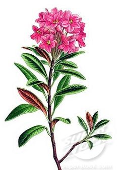 alpenrose graphic   ... , Rusty_leaved alpenrose Rhododendron ferrugineum, poisonous plant