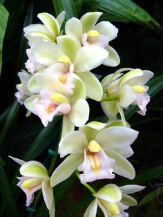 Orchid, Cymbidium, Sleeping Angel #Cymbidium Orchid  #Orchids  #http://growingorchids.biz/