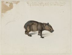 Capybara, Frans Post (1612–1680), watercolor and gouache, with pen and black ink, c. 1638–1639. Noord-Hollands Archief, Haarlem inv.nr. 53004657_02